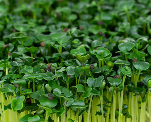 Kale | Vitality Farms| Lakeland, FL