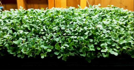 Lettuce | Vitality Farms | Lakeland, FL | Microgreens